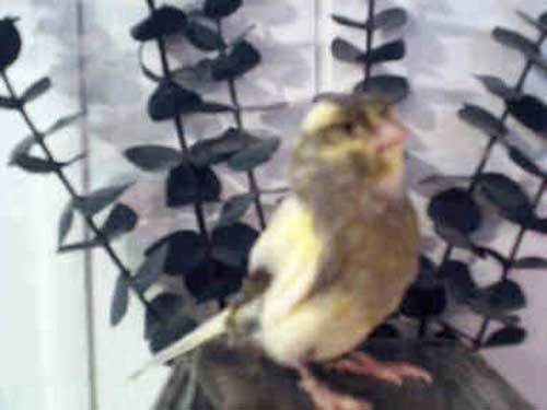 photo of a yellow and black hartz roller canary