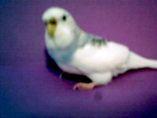 image of a budgie