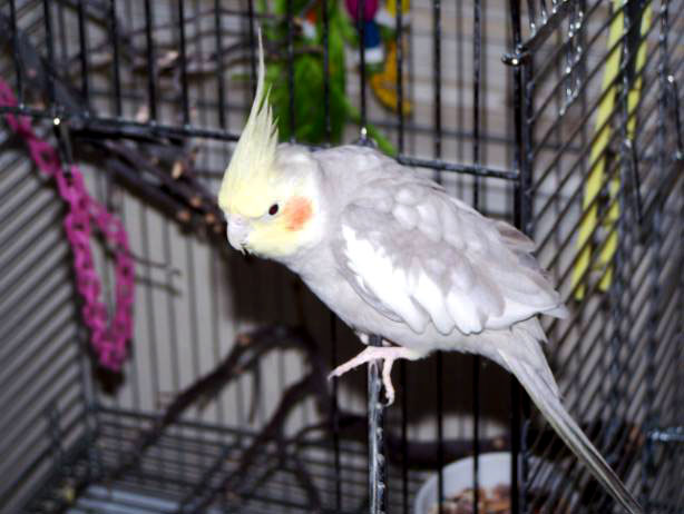 image of cockatiel named Jumper.