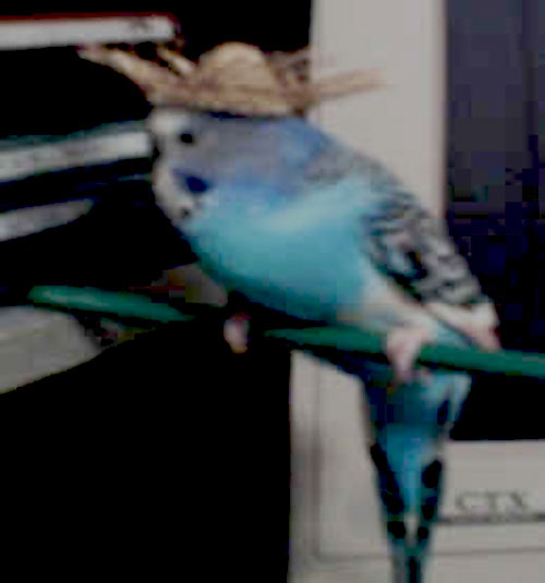 photo of a budgie wearing a straw hat